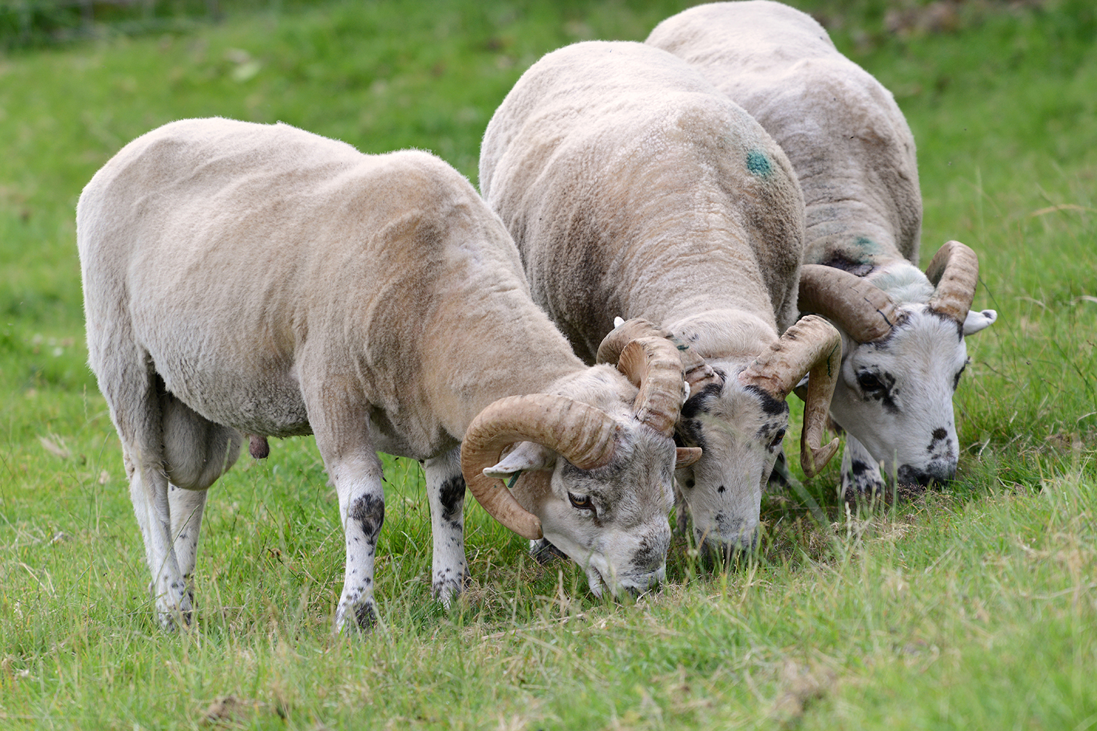 3 rams eating grass